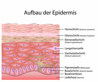 Epidermis – Aufbau, Funktion & Krankheiten | MedLexi.de