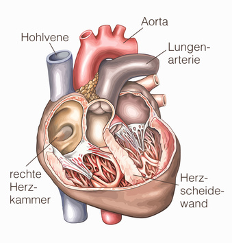 Herz – Aufbau, Funktion & Krankheiten | MedLexi.de