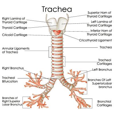 belegte bronchien