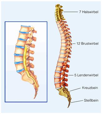 Halswirbelsäule – Aufbau, Funktion & Krankheiten | MedLexi.de