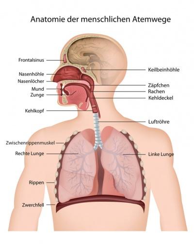 844bebd2ca Schematische Darstellung zur Anatomie der Atemwege beim Menschen. Klicken,  um zu vergrößern.