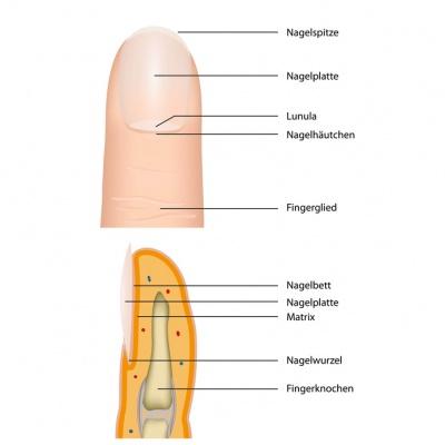 Fingernägel – Aufbau, Funktion & Krankheiten | MedLexi.de