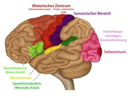 Gehirn – Aufbau, Funktion & Krankheiten   MedLexi.de