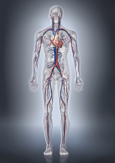 Körperkreislauf – Funktion, Aufgabe & Krankheiten   MedLexi.de
