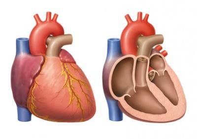 Kardiomegalie Ursachen Behandlung Hilfe Medlexide