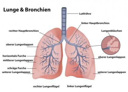 Atemwege – Anatomie, Aufbau, Funktion, Krankheiten