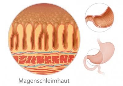 säuresekretion im magen