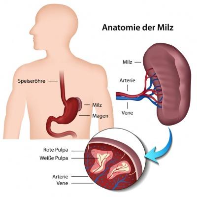 Milz – Aufbau, Funktion & Krankheiten | MedLexi.de