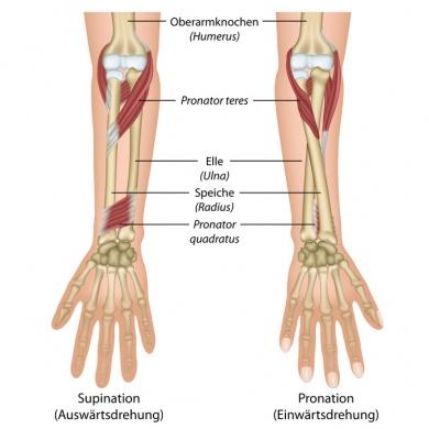 Unterarm – Aufbau, Funktion & Krankheiten | MedLexi.de