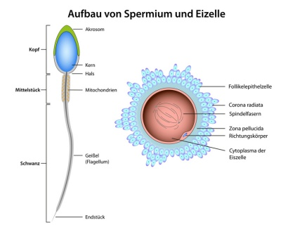 Sperma – Aufbau, Funktion & Krankheiten | MedLexi.de